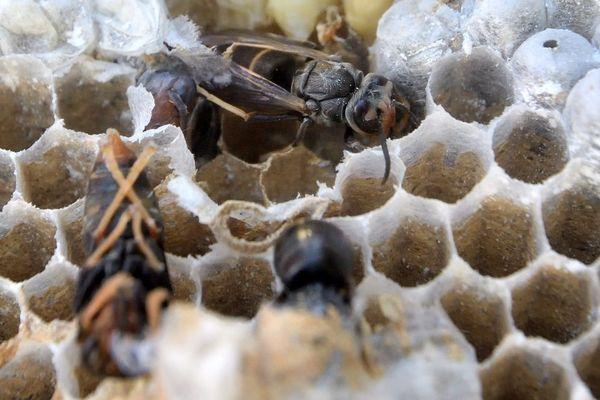 L'intérieur d'un nid de frelons asiatiques.