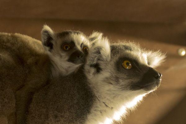 Trois naissances ont eu lieu chez les makis cattas, cette espèce originaire de Madagascar.