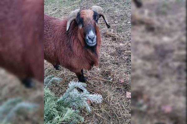 César, le mouton du Cameroun d'Olivia Brelurut, ne boude pas son plaisir devant les sapins de Noël qui lui ont été gentiment déposés dans son enclos à Salernes au lendemain de l'appel sur Facebook de sa propriétaire.