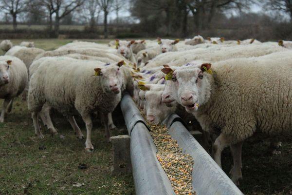 Les moutons de Jean-Luc et Aline Braud sont nourris à la céréale bio.