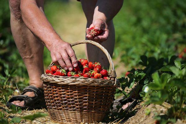 La saison des fraises est lancée en Alsace, les allées de la libre cueillette sont partout très prisées, notamment par les familles