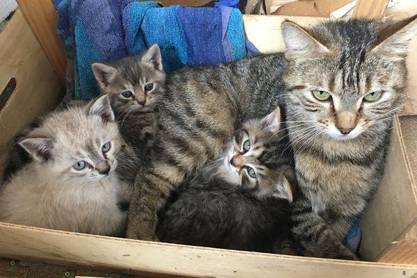 Une femelle est féconde à partir de ses cinq mois, elle peut avoir plusieurs portées de quatre à six chatons par an.
