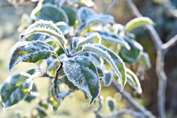Les arbres fruitiers souffrent des variations de températures en Normandie.