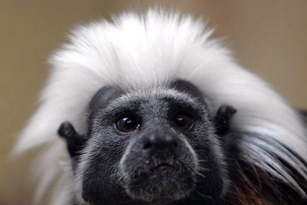 Le tamarin pinché, originaire de Colombie, est classée en danger critique d'extinction.