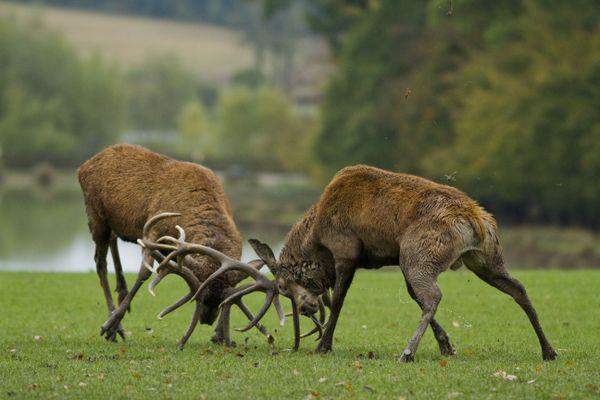 Combat de cerfs au parc animalier de Sainte-Croix.
