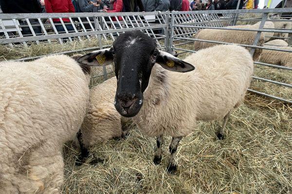 Au Sommet de l'Elevage de Clermont-Ferrand, les moutons Rava ne passent pas inaperçus.