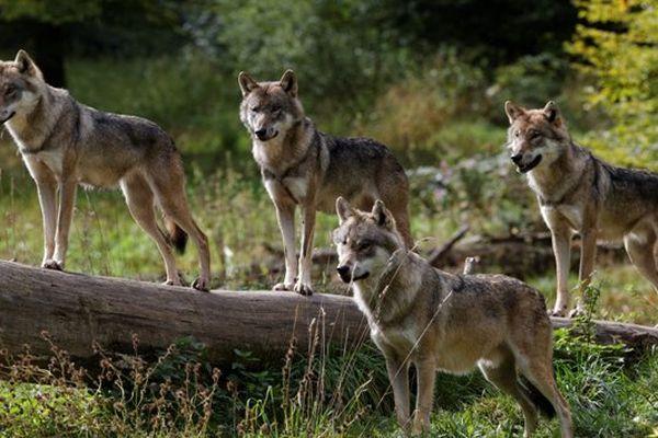 les loups gris du parc de Sainte-Croix