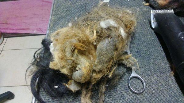 Ce sont plus de 3 kilos de poils qui ont été coupés pour redonner forme au petit yorkshire