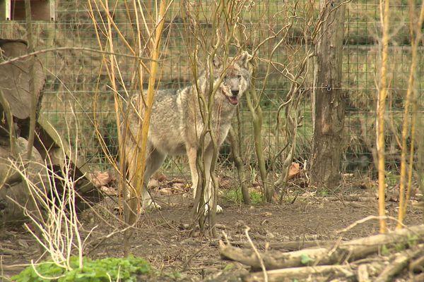 En novembre 2020, trois loups s'échappaient du sanctuaire de Fontenay-Rohan-Rohan dans les Deux-Sèvres.