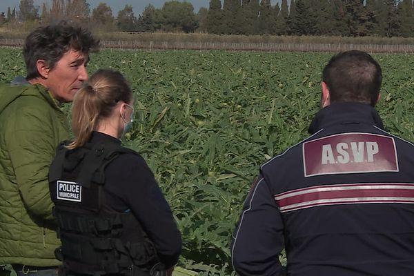 Des brigades de surveillance protègent les champs d'artichauds