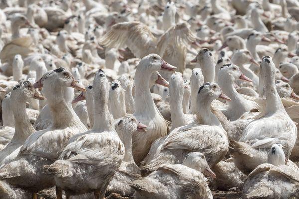 12 000 canards abattus dans un élevage de Sèvremont en Vendée, photo d'illustration