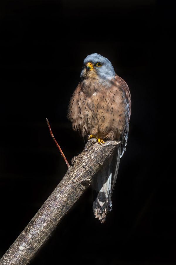 Le faucon crécerellette, rapace protégé qui niche principalement dans l'Hérault, a failli disparaître dans les années 80.