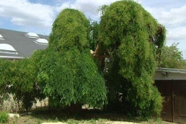 Le sophora japonica de Villers-les-Pots (21)