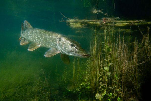 Le brochet est un poisson fragile, il se raréfie en Alsace.