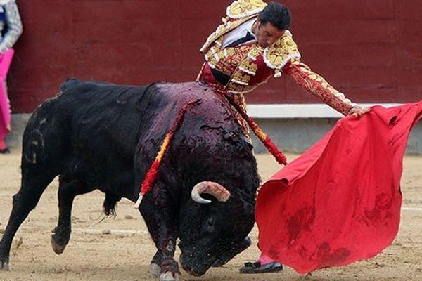 """Uceda Leal face au toro d'ouverture, """"Gritador"""", n°244, 525 kg, de Fuente Ymbro qui dévore la muleta. Au final, une oreillette..."""