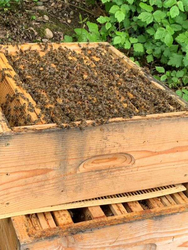 En cette période de couvaison, les abeilles, agglutinées, essaient de maintenir une température d'au moins 30 degrés au sein de la ruche pour que la ponte puisse éclore.