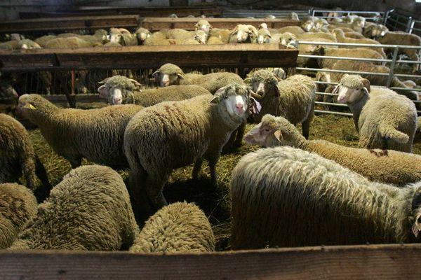 Les moutons sont abattus pendant l'Aïd El Kebir dans des conditions définies par l'Etat.