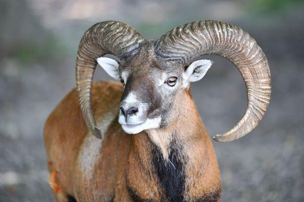 """""""Le tribunal a reconnu l'absence de dégâts causés par le mouflon"""", s'est félicité Me Matthieu Victoria, conseil de la Ligue de protection des oiseaux (LPO) et de l'Association pour la protection des animaux sauvages."""