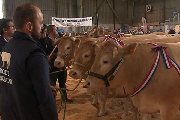 Concours de blondes d'Aquitaine au salon agricole de Tarbes