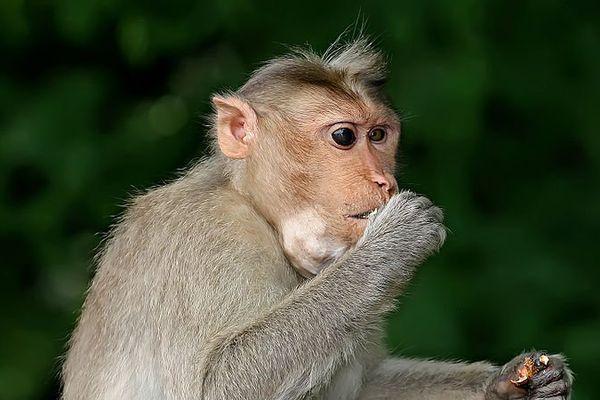 Le singe échappé serait à priori un macaque