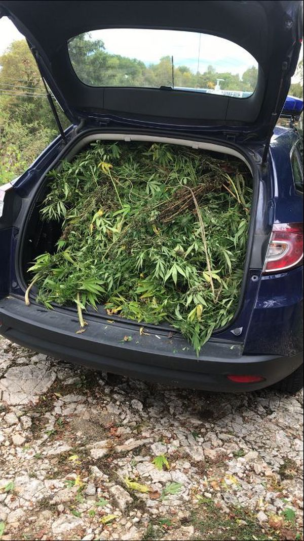 La voiture des officiers de gendarmerie a eu du mal à contenir les plants de cannabis d'une exceptionnelle vigueur...