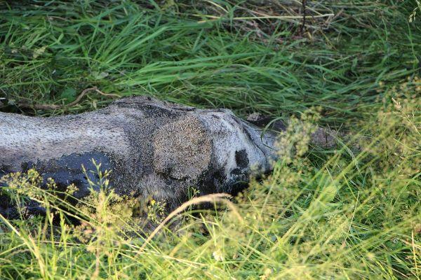 Comme une dizaine d'autres chevaux en France, à Hyds (Allier), Epsos, le cheval de Sandrine et Stéphane, a été retrouvé mort, l'oreille coupée.