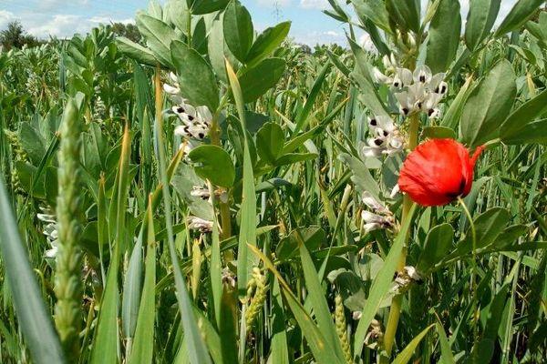 Un peu d'herbes ou de fleurs dans les champs ne compromet pas les rendements des céréales