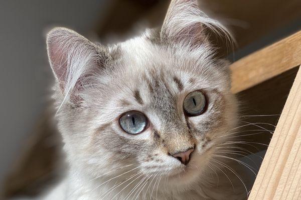 Gandalf, 5 mois et demi est porteur d'une puce électronique et a été stérilisé le jour de son identification.