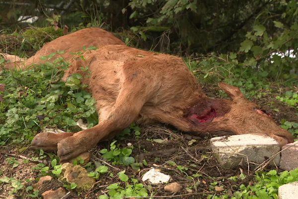 Le veau a été retrouvé l'œil arraché et la langue coupée.