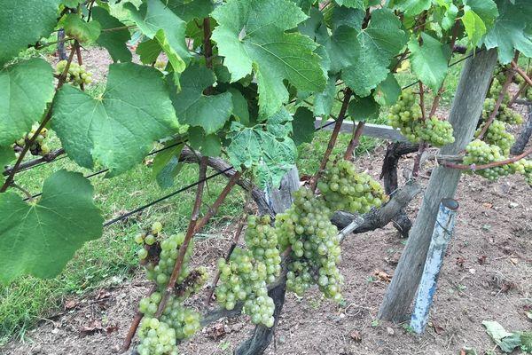 Les vignes du Coteaux du Braden à Quimper