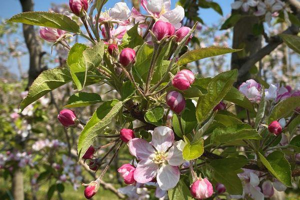 Les fleurs de pommiers sont au centre de toutes les attentions