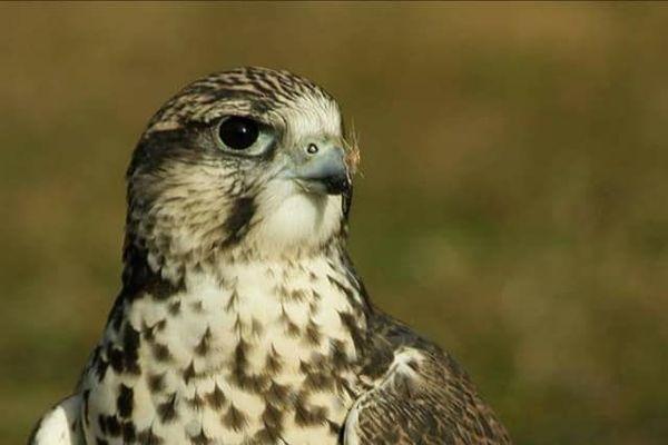 Le faucon sacre a été aperçu pour la dernière fois le 15 août lors d'une représentation.