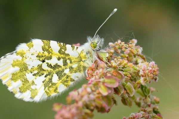 Petit papillon aurore dans la campagne bretonne.