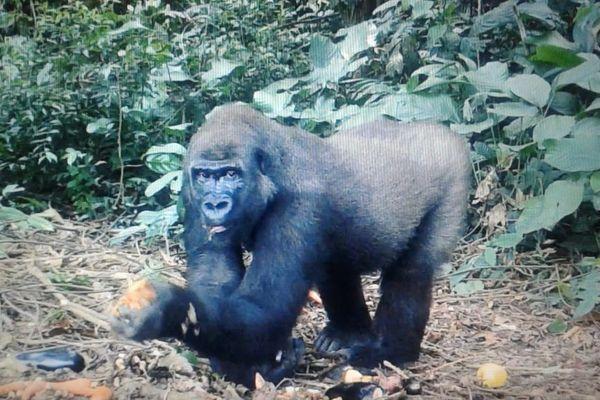 Kuimba était la fille d'Asato, le mâle dominant gorille du ZooParc. Âgée de 9 ans, elle étaiet née à Beauval.
