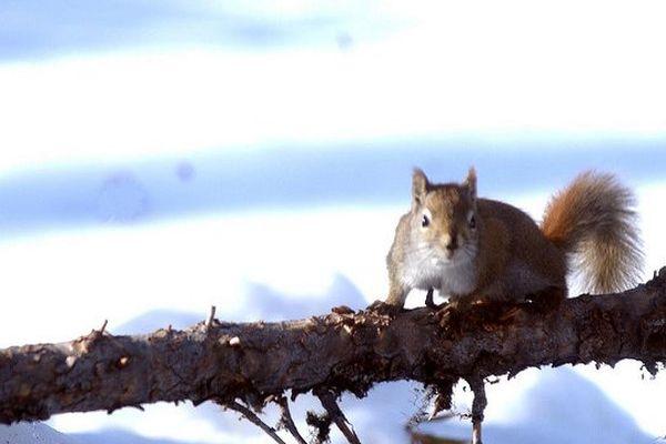 écureuil aux aguets, par Peuple Loup sur Flick