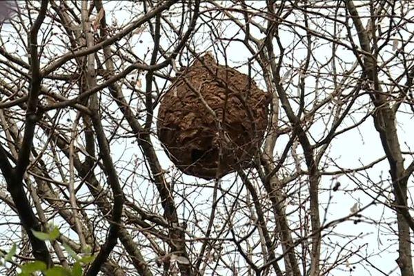 Le frelon asiatique a été observé en France au début des années 2000. Les nids se situent souvent en hauteur.