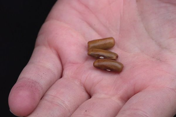 Un institut russe a ouvert à Charly (Rhône) un centre de recherches pour étudier les graines rares : parmi elles, des végétaux peut-être plus adaptés au réchauffement climatique.