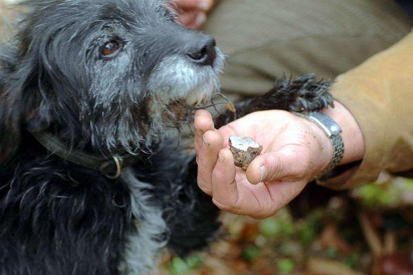 Un chien truffier récompensé ! (archives).