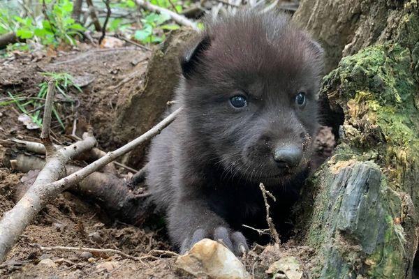 Deux louveteaux du Canada sont nés pendant le confinement au Parc Animalier d'Auvergne. Ils devraient bientôt sortir de leur tanière.