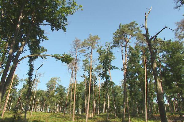 Certains arbres de la forêt de Moulière, dans la Vienne, ne trouvent plus assez d'eau dans le sol et meurent en s'asséchant.
