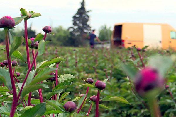 Mauguio (Hérault) - les champs de pivoines des horticulteurs sont en fleurs - mai 2020.