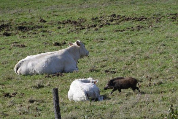 Le jeune sanglier cohabite tout à son aise avec les vaches, de quoi faire sourire les passants.