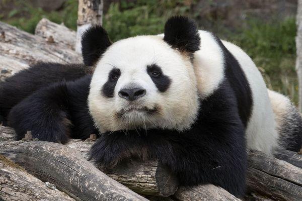 Huan Huan, la femelle panda du zoo de Beauval pourrait être de nouveau maman.