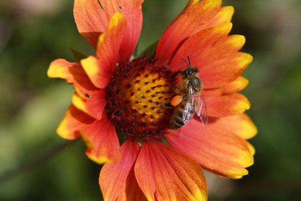 L'article met l'accent sur les pollinisateurs sauvages, bien plus fragiles que les abeilles domestiques