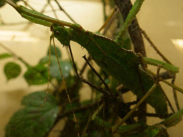 Le phasme dilaté va se confondre avec la végétation pour se protéger de ses prédateurs.
