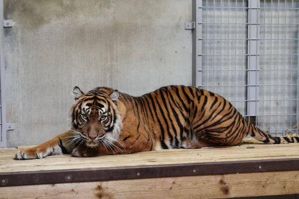 L'une des deux femelles arrivée en début de semaine au zoo de Maubeuge. Il reste mois de 500 tigres de Sumatra dans leur milieu naturel selon les experts.