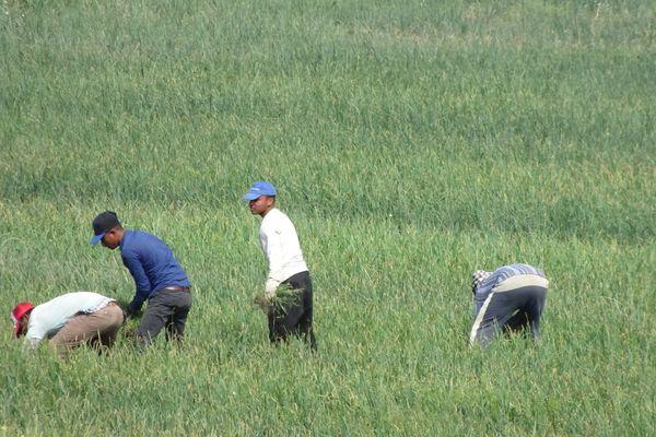 Travailleurs africains dans les champs d'oignons à Calabre