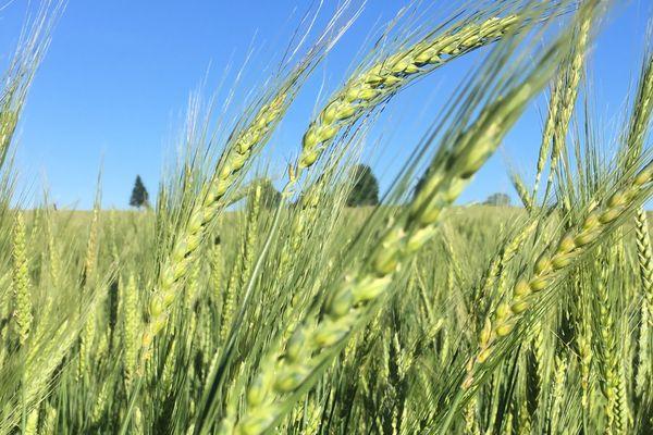 Un champ de blé dans l'exploitation de la famille de Tienda à Saint-Yrieix-la-Perche en Haute-Vienne