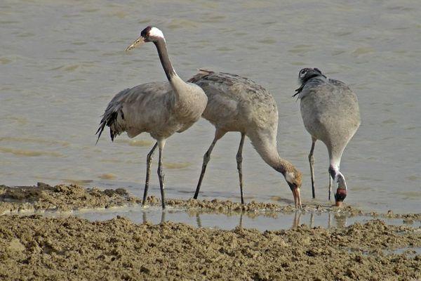 La grue cendrée, oiseau migrateur emblématique des étangs de la Horre, dans l'Aube.