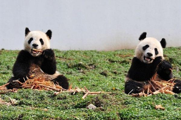Un couple de pandas géants pourrait s'installer bientôt dans les Pyrénées